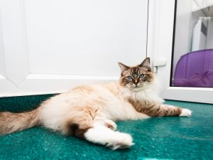 Cat in Campus Vets and Pets cattery boarding facilities