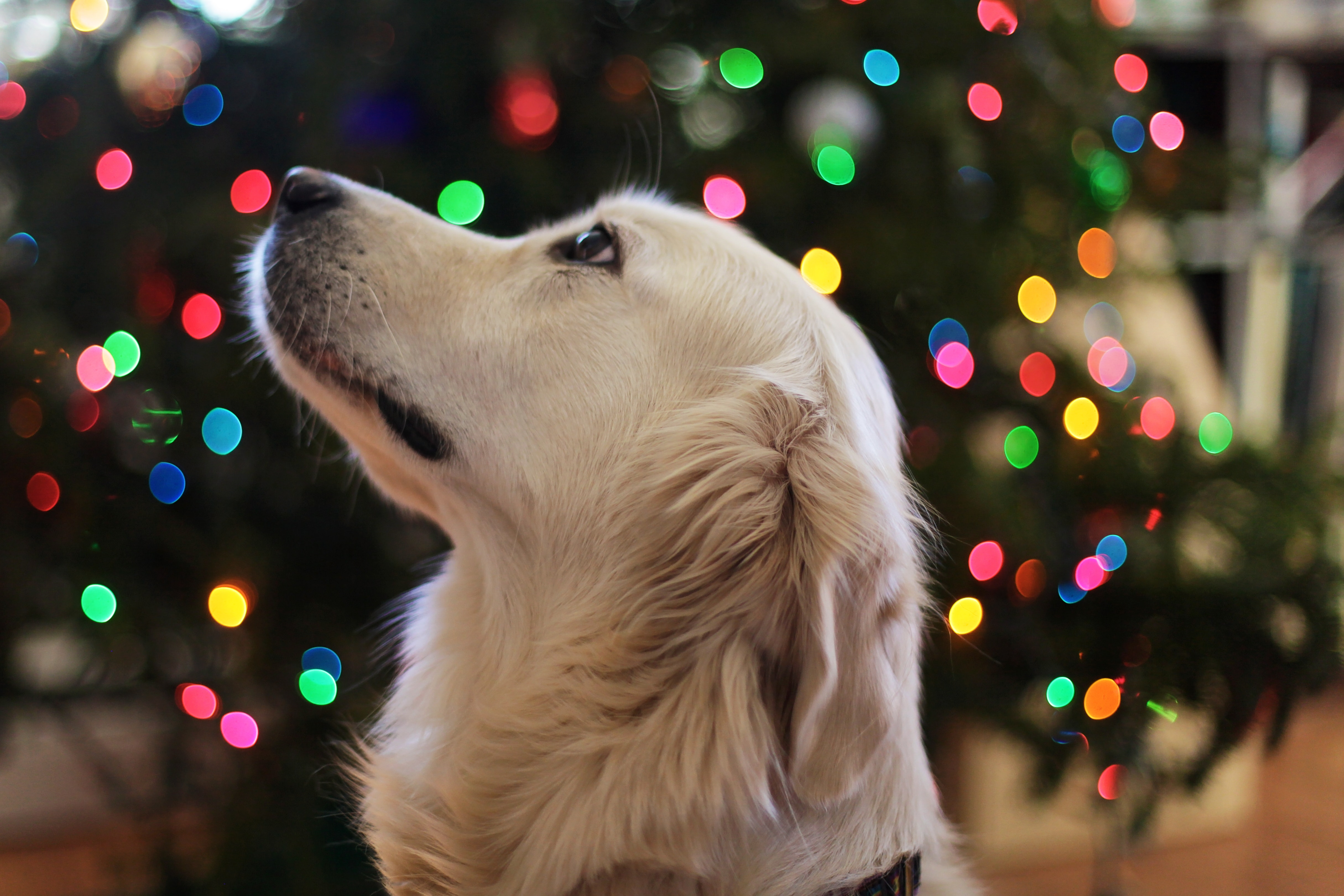 Why you should leave dogs off your Christmas list this year…